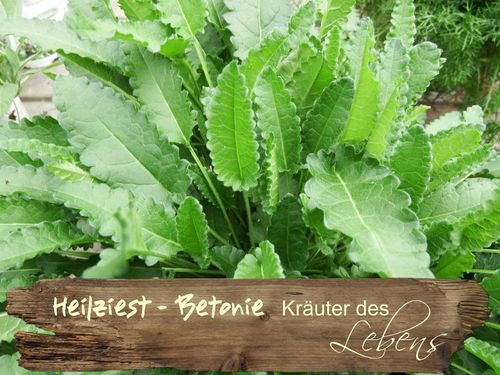 Heilziest - Stachys officinalis - echte Betonie
