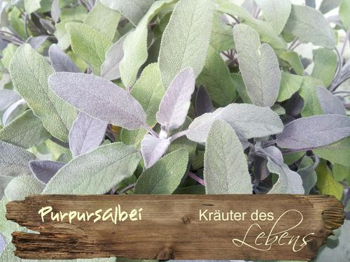 Purpursalbei - Salvia officinalis purpurascens
