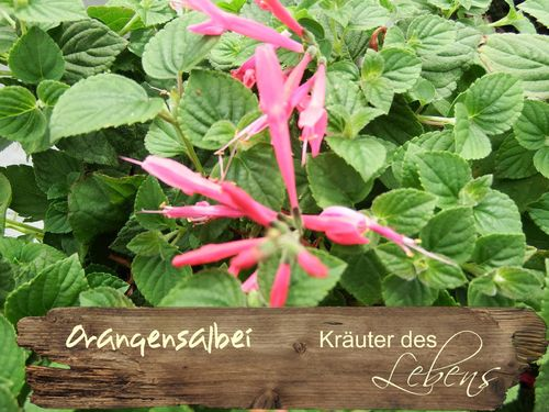 "Orangensalbei - Salvia species ""Tangerine"""