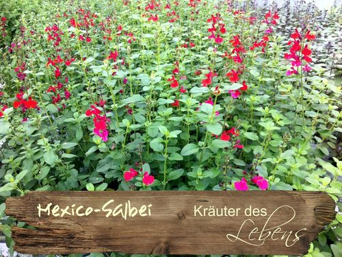 "Mexico-Salbei - Salvia gregii ""Royal Bumble"""